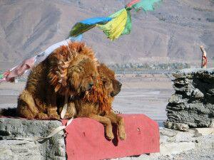 Tibethunde am Straßenrand
