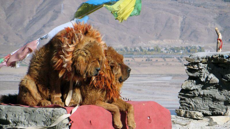 Tibethunde am Yamdrok-See © Diamir