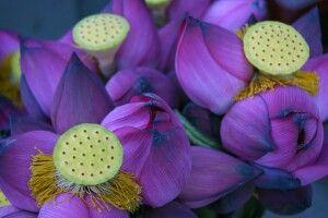 Lotus - Symbol für Reinheit, Treue und Erleuchtung