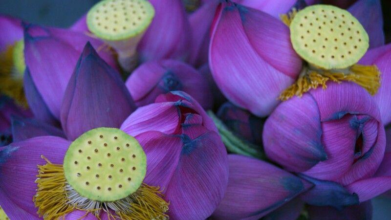 Lotus - Symbol für Reinheit, Treue und Erleuchtung © Diamir