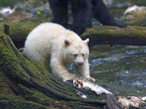 Junger Kermodebär frisst Fisch