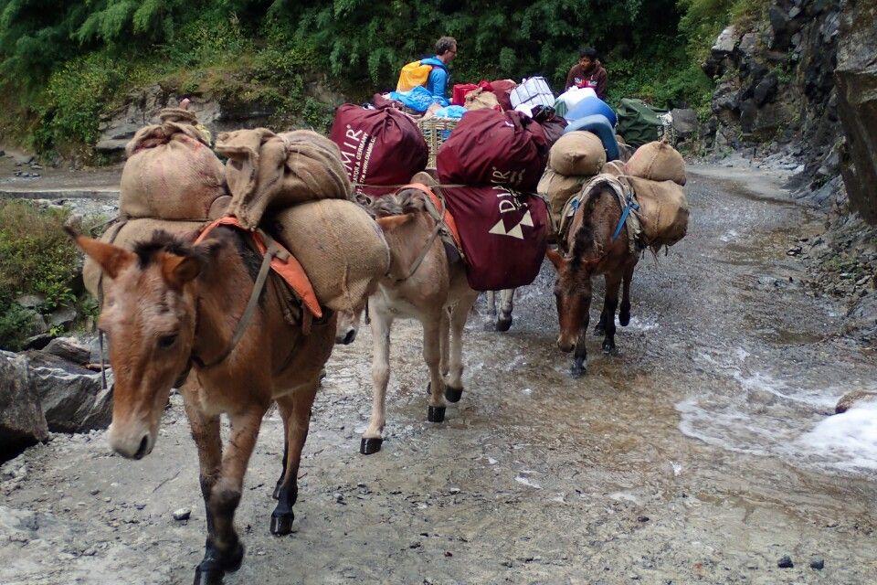 Mulis auf der Annapurna Runde