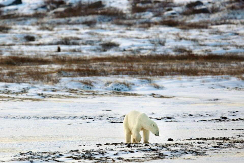 Eisbär in frisch verschneiter Tundra