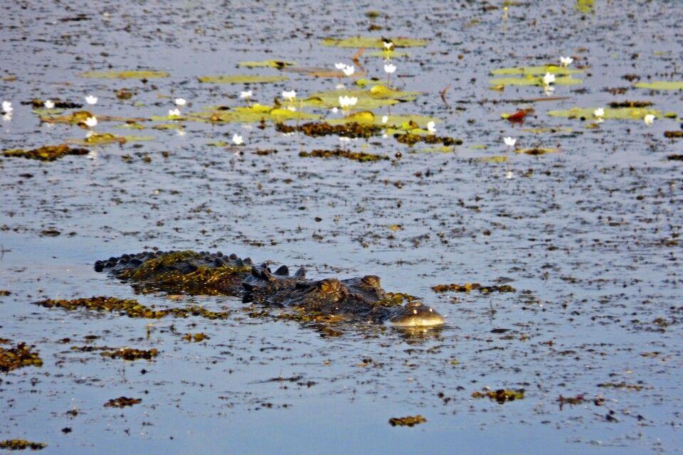 Krokodil im Kakadu NP bei Yellow Water Cruise