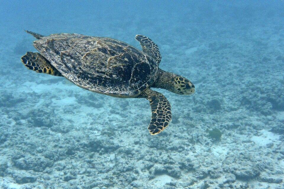 gleitende Schildkröte