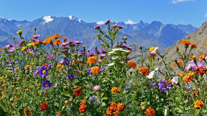 Blick vom Kloster Likir durch Blumen zur Zanskar Range nach Süden © Diamir