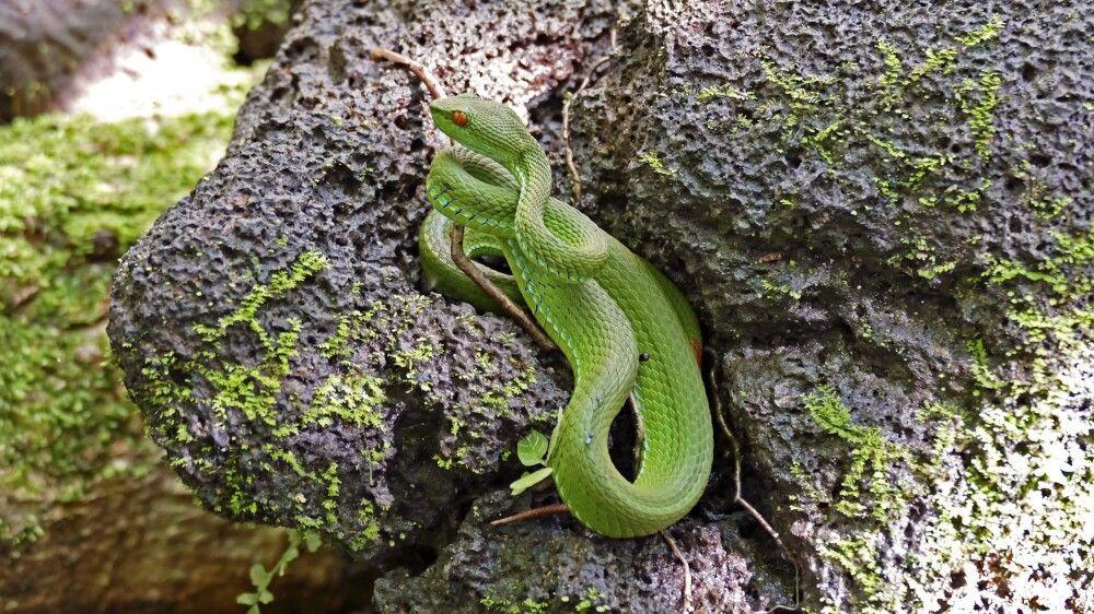 Grüne Bambusotter (Trimeresurus spec)
