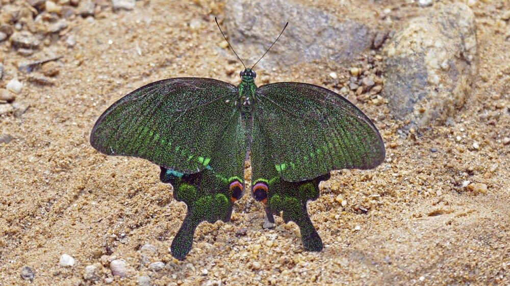 Schmetterling im Phong-Nha-Nationalpark (UNESCO-Weltnaturerbe)