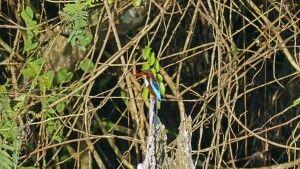 Eisvogel – Braunliest (Halcyon smyrnensis)