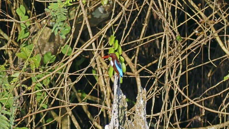 Eisvogel – Braunliest (Halcyon smyrnensis) © Diamir