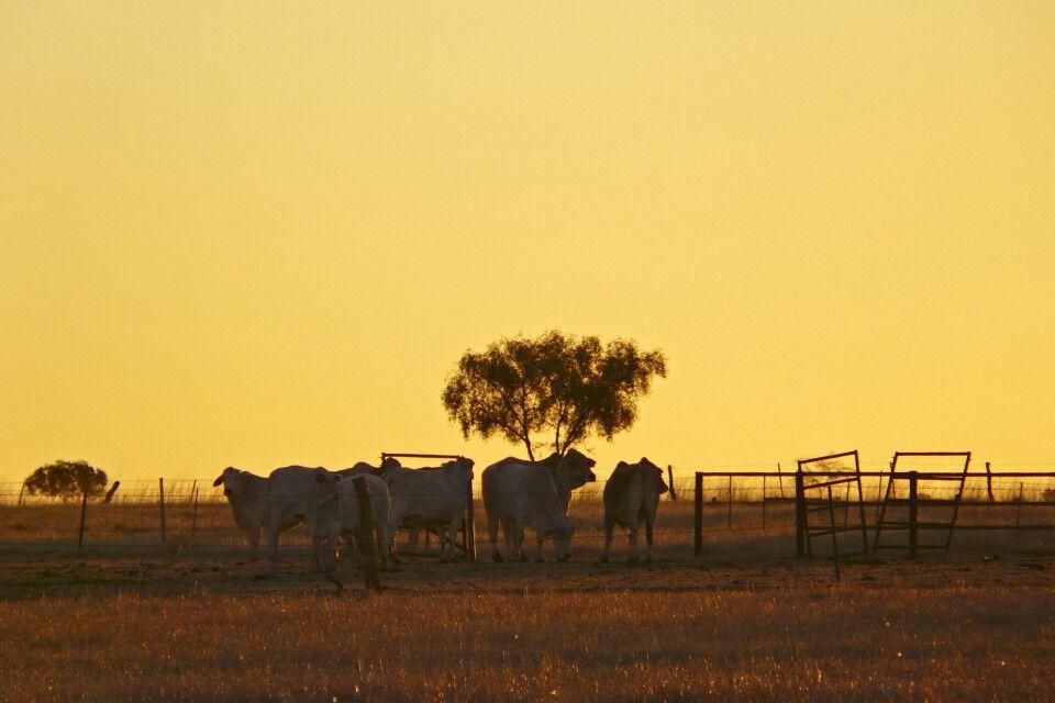 Kühe im Sonnenuntergang, Northern Territory