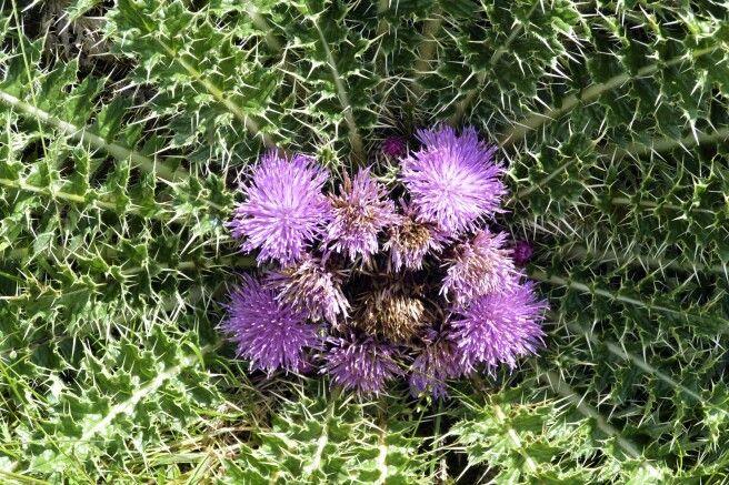 Blume im Semien Nationalpark