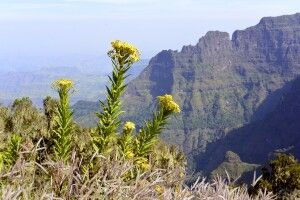 Blumen im Simien Nationalpark