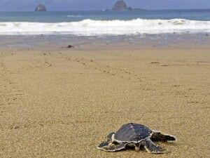Schildkröte am Strand von Sukamade