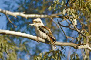 Australiens reiche Vogelwelt