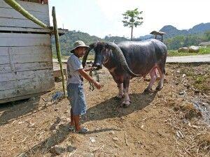 Büffel in Toraja