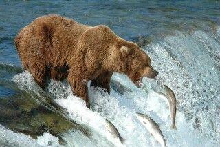 Ein Grizzlybär beim Lachsfang an den Brooks Falls im Katmai NP