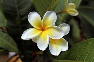 Wunderschöne Frangipani-Blüte