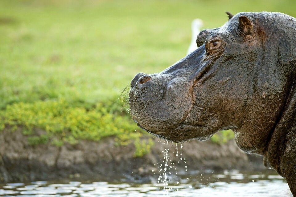 Flußpferd am Chobe-Fluss