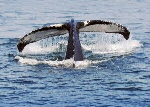 Walbeobachtung vor der Ostküste Kanadas