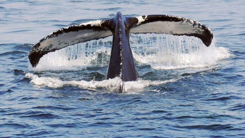 Walbeobachtung vor der Ostküste Kanadas © Diamir