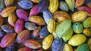 Farbenfrohe Kakaofrüchte im Mekongdelta