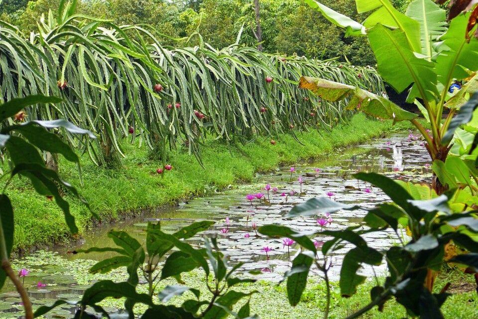 Obstgarten im Mekongdelta