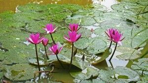 Seerosen im Mekongdelta – Nymphaea pubescens