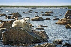 Eisbärjunges am Ufer
