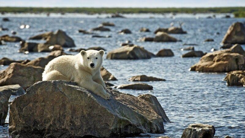 Eisbärjunges am Ufer © Diamir