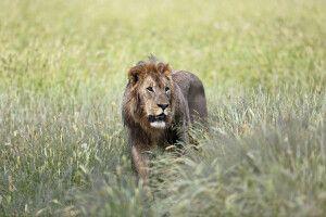 Löwe im Regen nahe Etosha NP