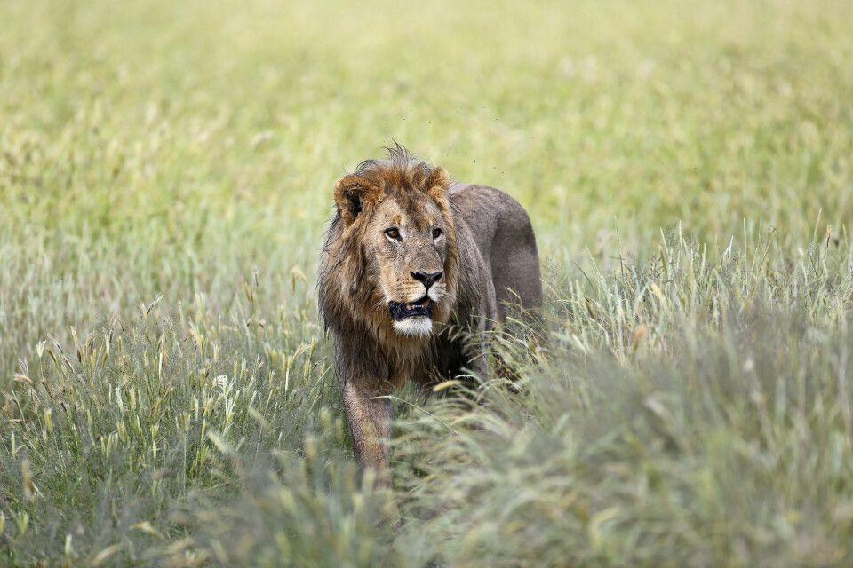 Löwe im Regen, Etosha NP