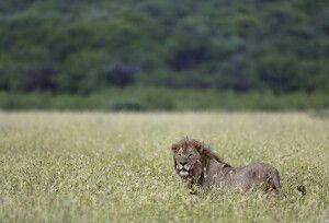Löwe auf Pirsch