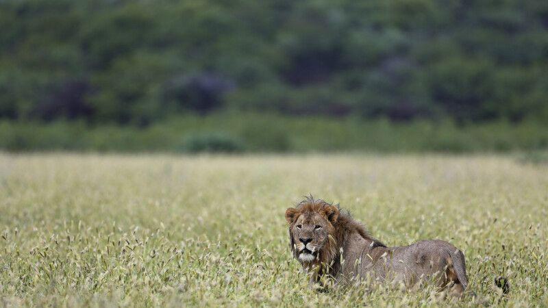 Löwe auf Pirsch © Diamir
