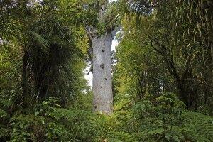 Kauribaum im Waipora Forest auf der Nordinsel
