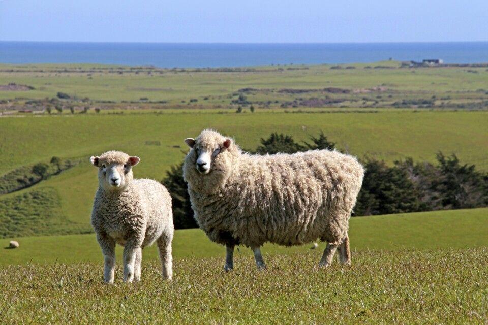In Neuseeland gibt es weit mehr Schafe als Einwohner.