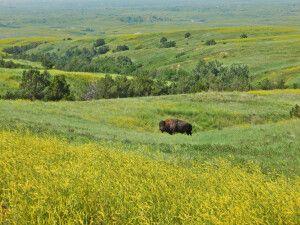 Büffel im Oglala National Grassland