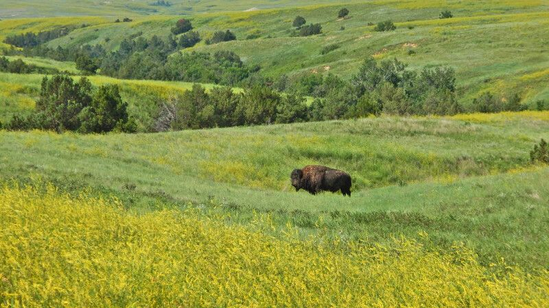 Büffel im Oglala National Grassland © Diamir