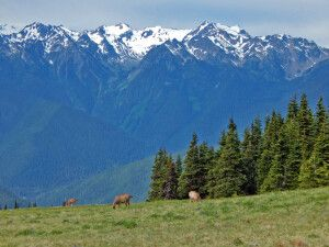 Rehe vor den Olympic Mountains
