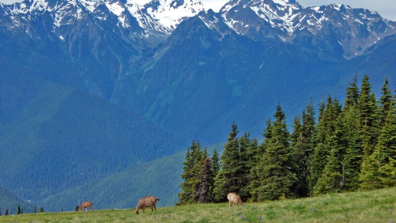 Rehe vor den Olympic Mountains © Diamir