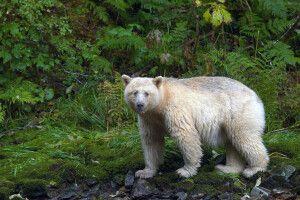 """Ein """"Geisterbär"""" in den Wäldern des Great Bear Rainforest"""