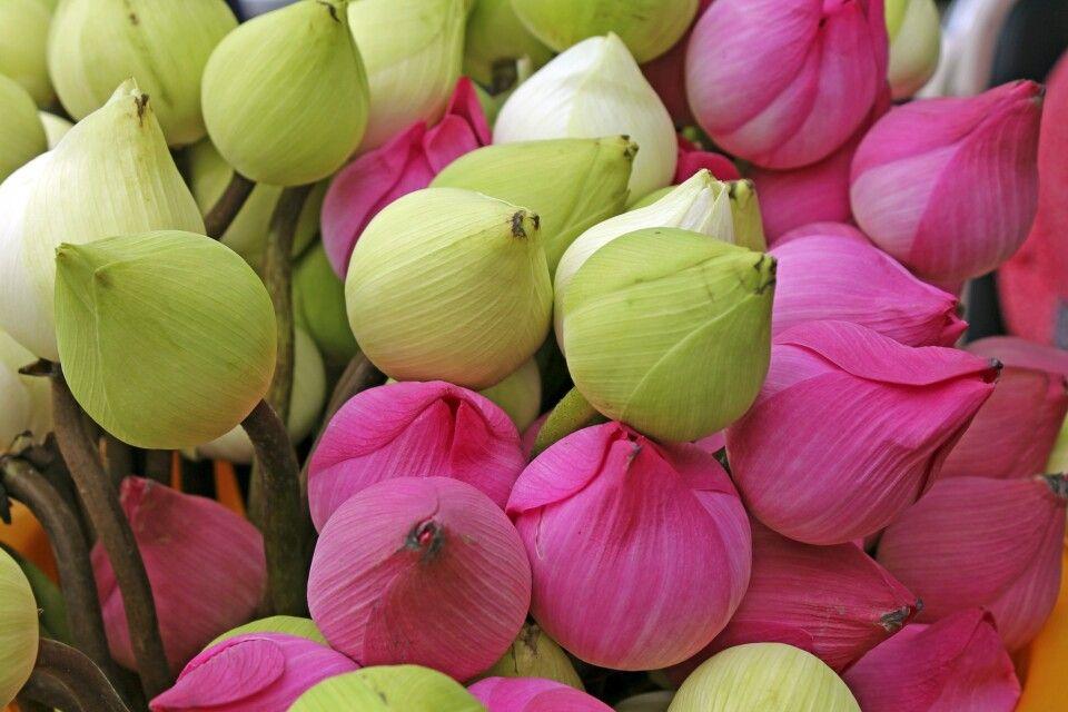 farbenprächtige Lotusblüten