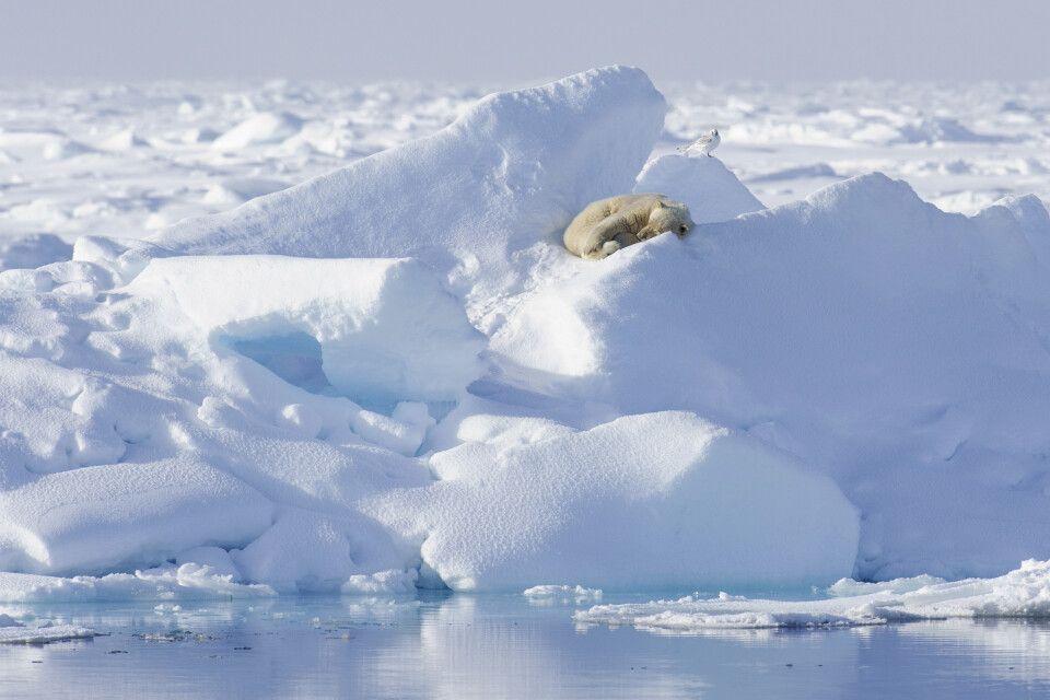 Ruhender Eisbär im Packeis