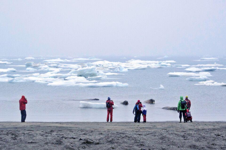 Sichtung einer Walross-Gruppe vom Strand aus