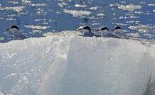 Küstenseeschwalben auf einer Eisscholle