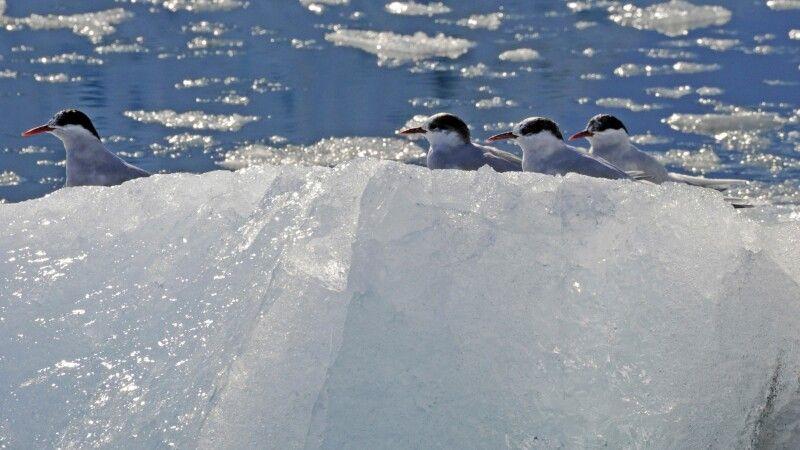 Küstenseeschwalben auf einer Eisscholle © Diamir