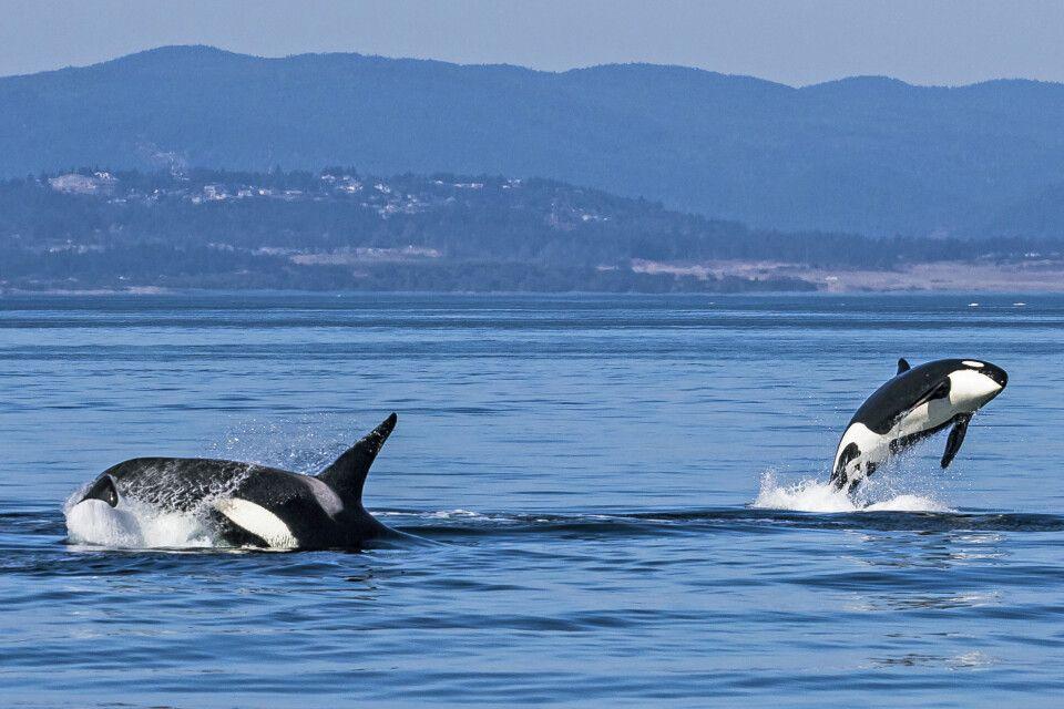 Orcas kann man gut auf Vancouver Island beobachten