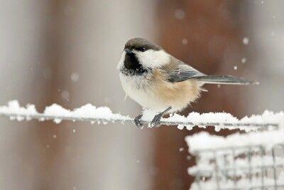 Meise in leichtem Schneefall