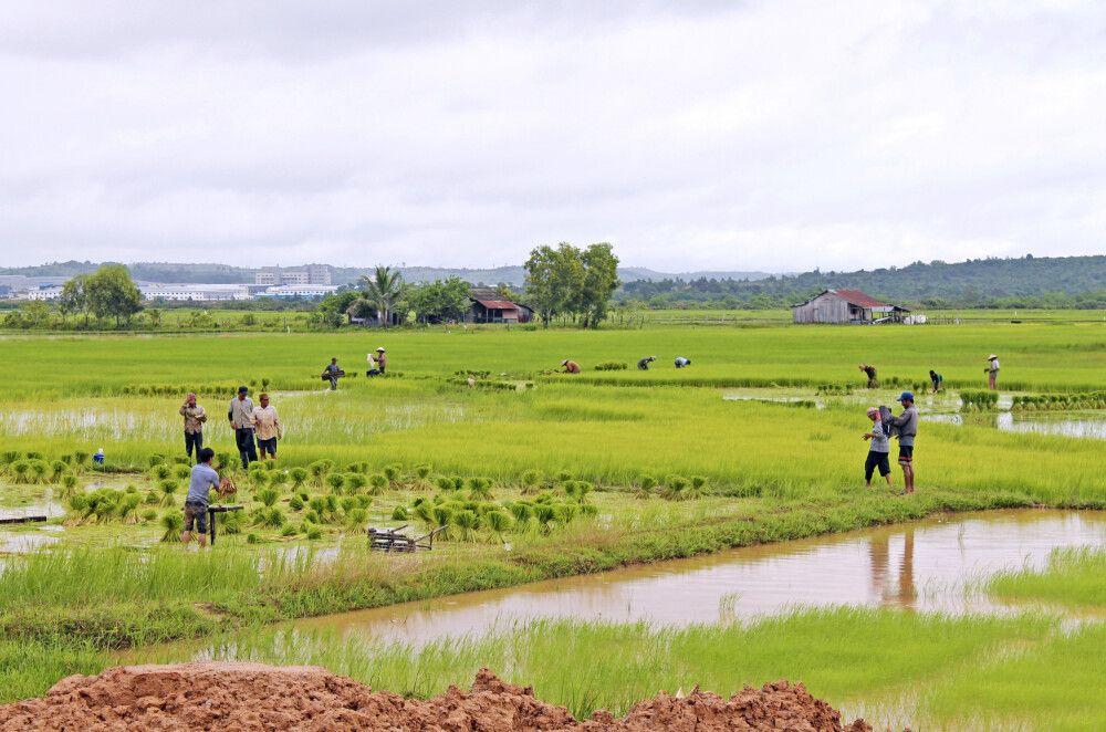 Setzen der neuen Reispflanzen
