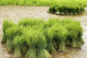 Reisbündel auf einem Feld